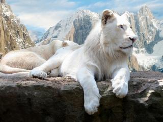 обои Белый сибирский тигр фото