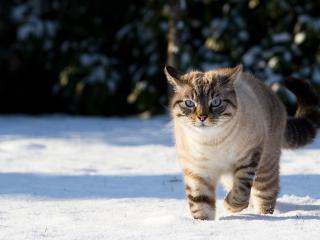 обои Поджарый кот по утреннему снегу фото