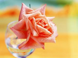 обои Алая роза в бакале фото