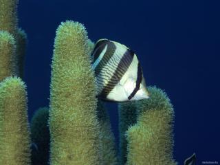 обои Черно-белая рыбка плавает среди водорослей фото