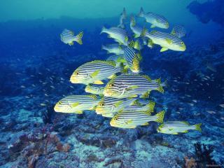 обои Небольшой косяк полосатых рыбок фото