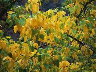 обои Желто зеленое дерево фото