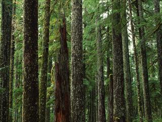 обои Хвойный лес фото