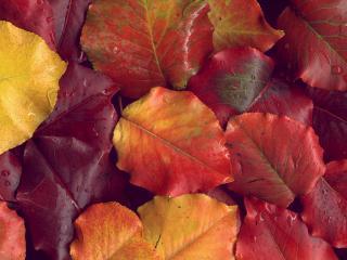 обои Желтые и бардовые мокрые листья фото