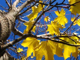 обои Желтые листья на ветви клена фото