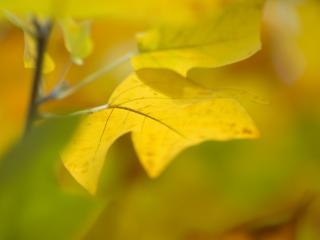 обои Желтые осенние листья фото