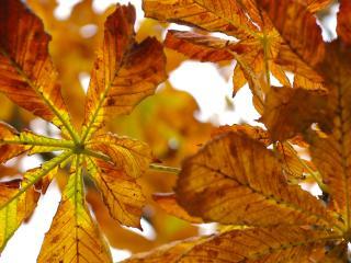 обои Осенние листья в виде цветков фото