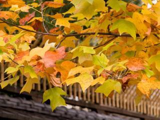обои Осенние листья на ветви над забором фото