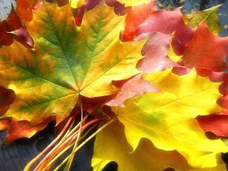 обои Собранные листья клена фото