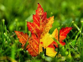 обои Яркий осенний лист упал в траву фото
