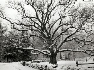 обои Большое дерево под снегом в парке фото