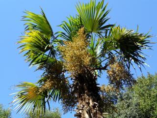 обои Высокая пальма под голубым небом фото