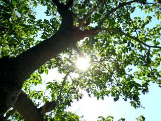 обои Солнечный свет, в ветвях летнего дерева фото