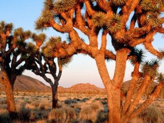 обои Редкие деревья в пустыне фото