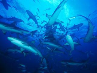 обои Стая акулят в море фото