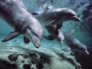 обои Стая дельфинят фото