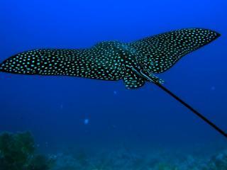 обои Скат в морских глубинах фото