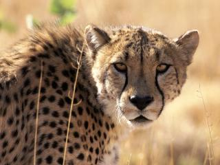обои Леопард на охоте днем фото