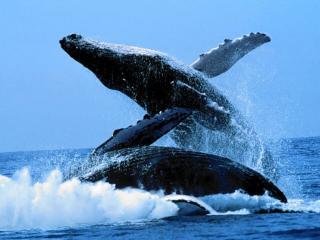 обои Млекопитающие в океане фото