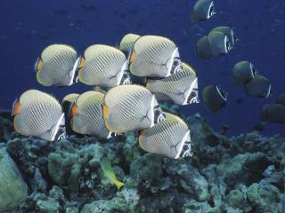 обои Амазонские рыбки фото