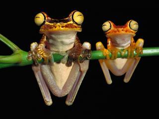 обои Лягушки повисли на лиане фото
