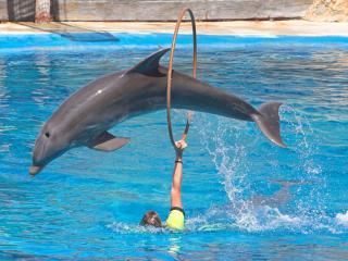 обои Дельфин прыгает через обруч фото