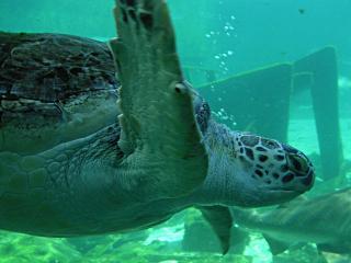 обои Плывущая под водой черепаха фото