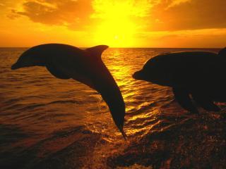 обои Дельфины выпрыгнувшие из воды,   на закате фото