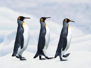 обои Три пингвина фото