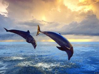 обои Два дельфина ныряют в океан фото
