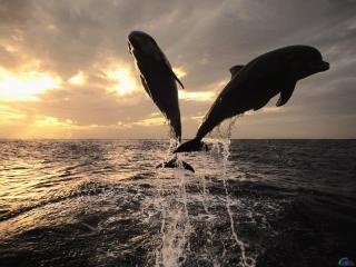 обои Два дельфина выпригивают из воды фото