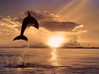 обои Дельфин плывет на закат фото