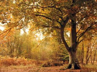 обои Старое дерево осенью фото