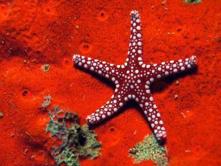 обои Пятнистая морская звезда фото