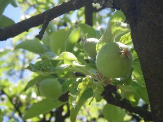 обои Еще зеленые яблоки фото