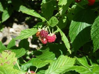 обои Первые плоды малины фото