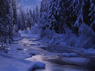 обои Зимний кедр фото
