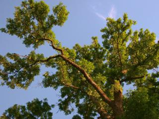 обои Раскинувшая ветви, летняя сосна фото