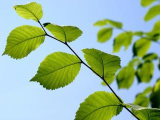 обои Зеленая ветвь,   под голубым небом фото
