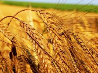 обои Согнувшиеся колосья пшеницы фото