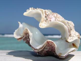 обои Морская раковина фото