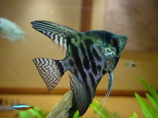 обои Моя заморская рыбка фото