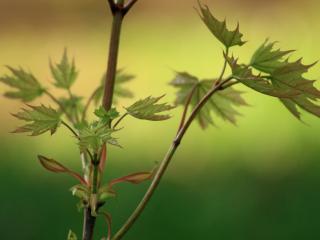 обои Молодые кленовые листья фото
