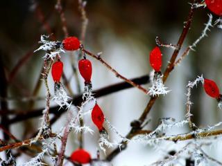 обои Зимние бусы из шиповника фото