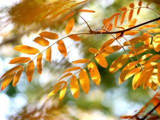 обои Желтые листья рябины фото