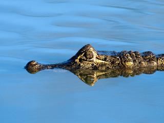 обои Крокодил фото