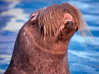 обои Морда усатого тюленя фото