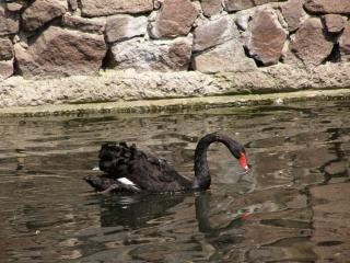обои Черный лебедь фото