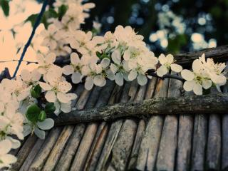 обои Ветвь яблони на восходе фото