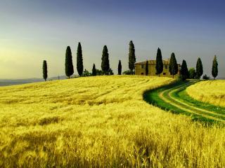 обои Желтые поля пшеницы фото